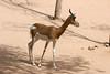 AZ-Phoenix-Zoo-Mhorr Gazelle-2006-07-04-0005