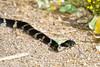 Snake-2010-06-12-0001<br /> <br /> Shot at Phoenix, AZ-Tres Rios Hayward Site