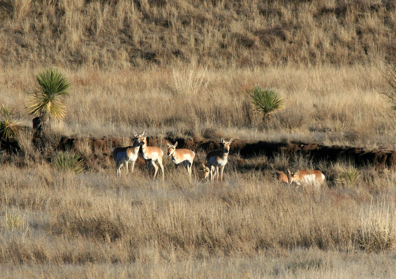 Antelope-2008-02-17-0001<br /> <br /> Shot east of Sonoita, AZ on Hwy-82