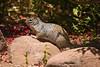 Squirrel-2010-06-13-0001<br /> <br /> Shot at Boyce Thompson Arboretum near Superior, AZ