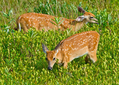 Two White-tailed fawn