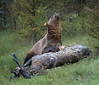 Grizzly Bear with Elk carcass