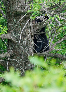 Black bear cub climbing down