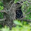 Black bear cub climbing down