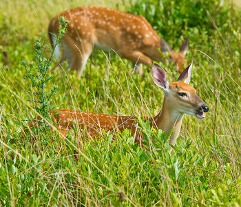 2 White-tailed fawn