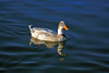 Duck, Mallard & Apricot Campbel Mix-Domesticated-AZ-Phoenix-Alvord Lake-2008-01-15-0003