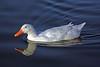 Duck, Mallard & Campbel Mix-Domesticated-AZ-Phoenix-Alvord Lake-2008-01-15-0003