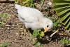 Chicken, (Chick)-2010-04-27-0001<br /> <br /> Shot in Glendale, AZ-Sahuaro Park