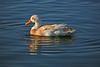 "Duck, Mallard & Apricot Campbel Mix-Domesticated-AZ-Phoenix-Alvord Lake-2008-01-15-0001 <font color=""Red""> Follow link to other </font> <a href=""http://www.rickwillis-photos.com/Nature""> Birds </a>."