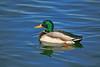 Duck, Mallard-Male-Domesticated-AZ-Phoenix-Alvord Lake-2008-01-15-0001