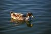 Duck, Mallard & Apricot Campbel Mix-Domesticated-AZ-Phoenix-Alvord Lake-2008-01-15-0002