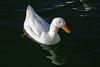Duck, Mallard & Campbel Mix-Domesticated-AZ-Phoenix-Alvord Lake-2008-01-15-0002