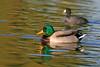 Duck, Mallard-Male-Domesticated-AZ-Phoenix-Alvord Lake-2008-01-15-0002