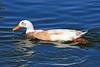 Duck, Mallard & Apricot Campbel Mix-Domesticated-AZ-Phoenix-Alvord Lake-2008-03-01-0001