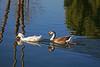 Duck, Mallard & Campbel Mix and Goose, Swan (Chinese)-Domesticated-AZ-Phoenix-Alvord Lake-2008-01-15-0001