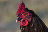 Rooster-2009-02-06-0001