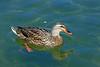 Duck, Mallard-Female-Domesticated-AZ-Phoenix-Alvord Lake-2008-02-12-0001