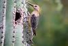 Woodpecker, Gila-2010-05-17-0002<br /> <br /> Shot at Glendale, AZ Botanical Garden.