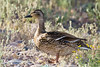 Duck, Mallard-Female-2010-04-27-0001<br /> <br /> Shot at Phoenix, AZ Rio Salado