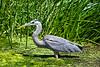 Heron, Great Blue-2010-04-24-0002<br /> <br /> Shot in Water Ranch-Gilbert, AZ