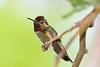 Hummingbird,  Anna's-Male-2010-04-20-0002<br /> <br /> Shot at Phoenix, AZ-Rio Salado