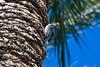 Woodpecker, Gila-2010-04-27-0001<br /> <br /> Shot in Glendale, AZ-Sahuaro Park