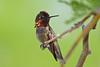 Hummingbird,  Anna's-Male-2010-04-20-0001<br /> <br /> Shot at Phoenix, AZ-Rio Salado