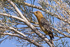 Woodpecker, Gila-2010--05-16-0001