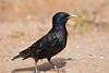 Starling, European-2010-04-27-0001<br /> <br /> Shot in Glendale, AZ-Sahuaro Park