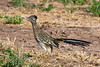 Roadrunner, Greater-2009-11-29-0001<br /> <br /> Shot at Buckeye Hills Recreation Area-Buckeye, AZ