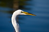 Egret, Great White-Portrait-2010-06-03-0001<br /> <br /> Shot at Phoenix, AZ-Alvord Lake