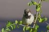 Sparrow, House-Male-2010-04-20-0001<br /> <br /> Shot at Phoenix, AZ-Rio Salado