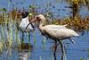 Immature White Ibis and Laughing Gull
