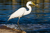 Egret, Great White-2010-06-04-0001<br /> <br /> Shot at Phoenix, AZ-Alvord Lake<br /> Small part of his Breakfast...