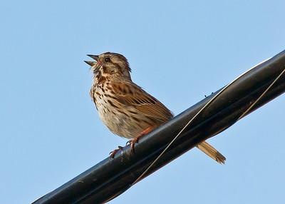 Singing bird Song Sparrow