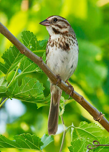 Side view Song Sparrow