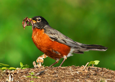 American Robin with Earthworms