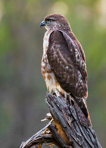 Juvenile Red-tailed Hawk look front