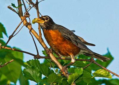 American Robin with fruits