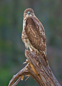 Juvenile Red-tailed Hawk look at you
