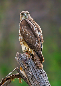 Juvenile Red-tailed Hawk Stare