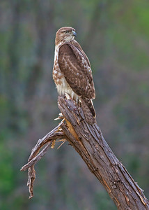 Juvenile Red-tailed Hawk look back