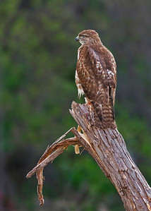 Juvenile Red-tailed Hawk look front wide