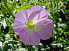 AZ-Phoenix-Desert Botanical Garden-2004-03-27-1001-Bindweed