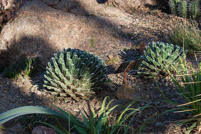 Agave Family, Queen Victoria