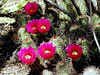 AZ-Phoenix-Desert Botanical Garden-2004-03-27-0010-Simpson's Hedgehog Cactus
