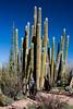 Cactus Family, Cardon