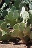 Cactus Family, Optuntia Martiniana