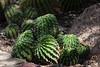 AZ-Phoenix-Desert Botanical Garden 2013-03-04-119