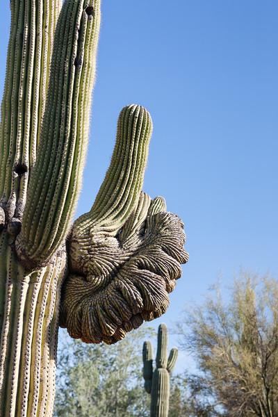 Saguaro Cactus Arm has had a rough time.